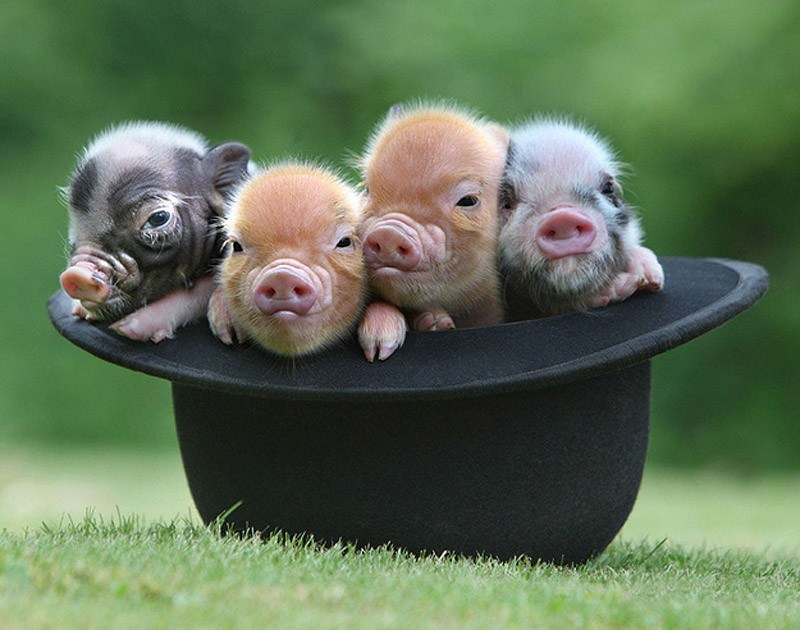 MiniaturePigs05